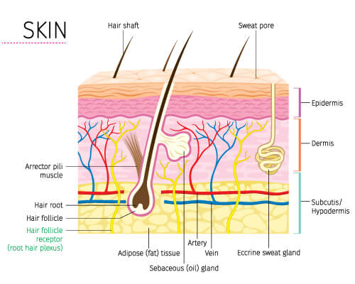 The anatomy of the skin | EDM Beauty